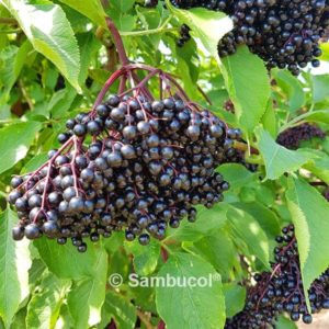 Cart | Immune Support | Sambucol® Black Elderberry